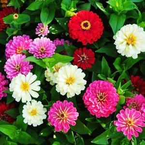 翠菊种子 四季播园林景观园艺绿化鲜花种子 花卉植物 包邮