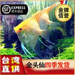 淡水热带金头神仙鱼活体小型七彩三色白墨埃及秘鲁神仙鱼斑马燕鱼