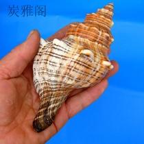 包邮天然海螺贝壳坤艺品赤旋螺海螺号创意鱼缸装饰摆件小礼品