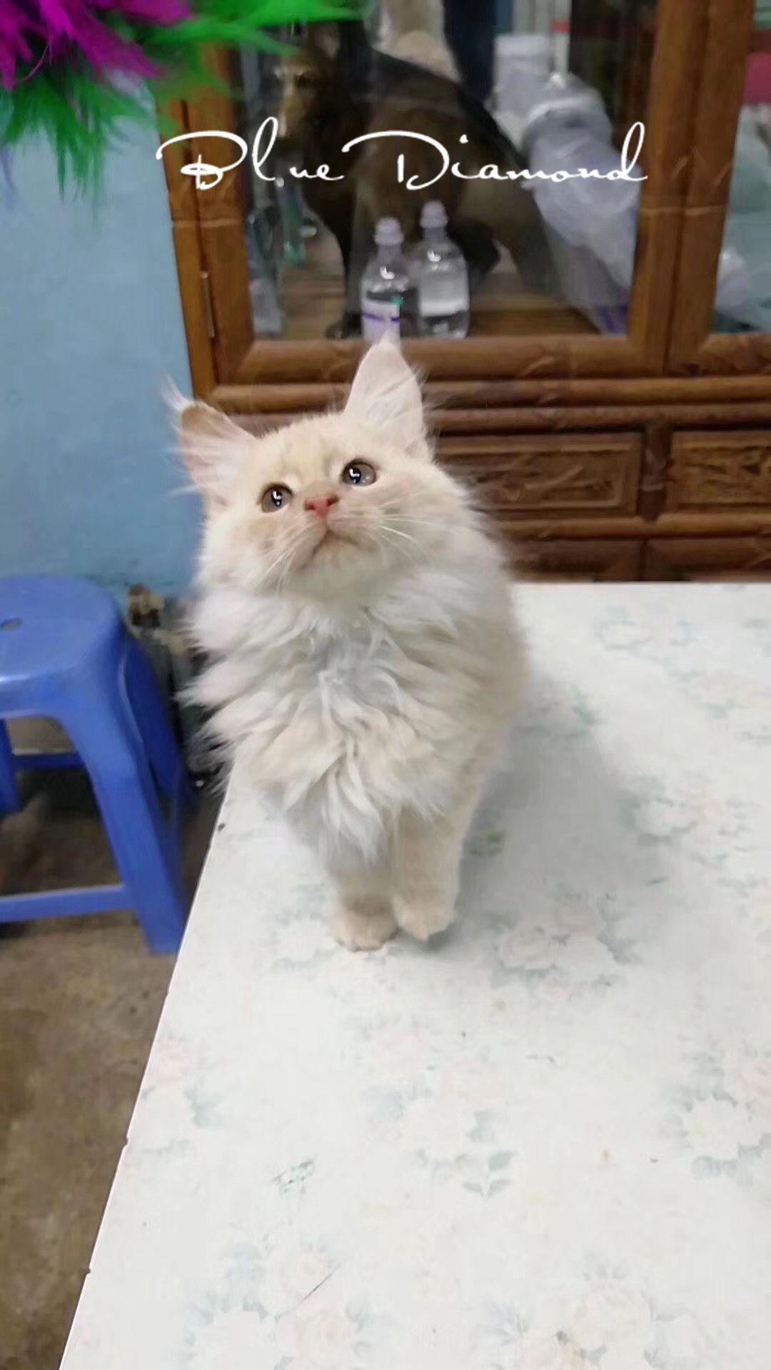 Maine Coon living pet cat cream Maine cat