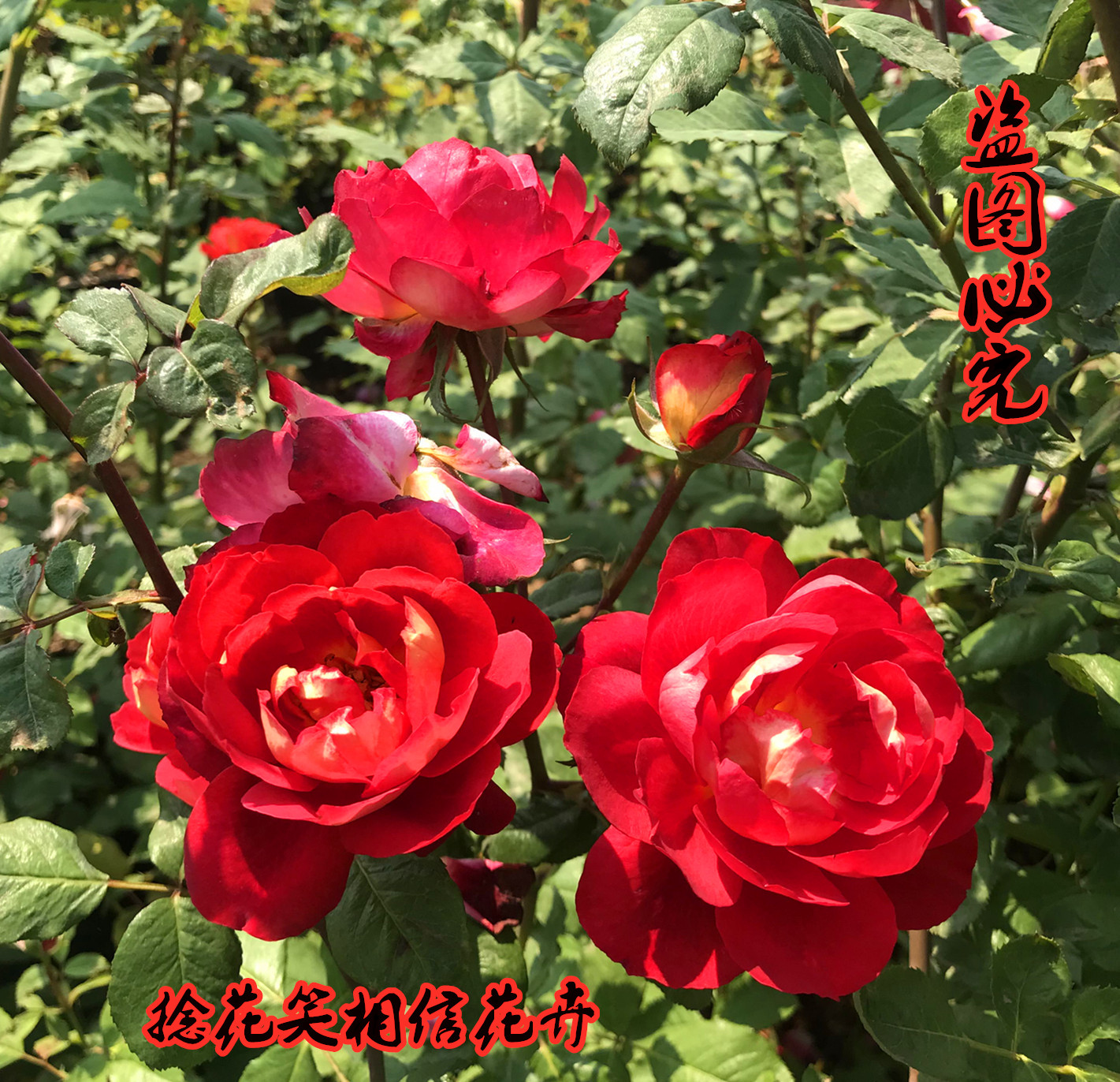 Dr. ouyuemasad rose is fragrant, strawberry is fragrant, can be irrigated, rattan is easy to raise, disease resistance is strong