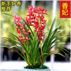 新手兰花四季建兰浓香盆栽不带花苞好养墨养花卉特价有香味的名贵