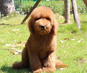 深圳纯种巨贵幼犬巨型贵宾犬大泰迪狗超大型贵宾犬宠物狗狗