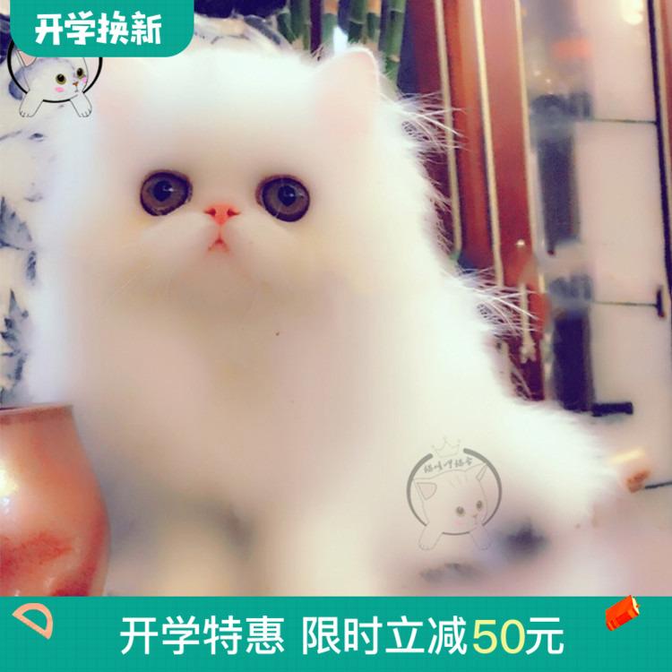 纯白加菲猫活体纯种幼猫纯白波斯猫活体异瞳异国短毛宠物猫公主猫图片