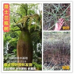 珍稀名贵树种澳州佛肚树苗进口植物昆士兰瓶树苗绿化景区庭院种植