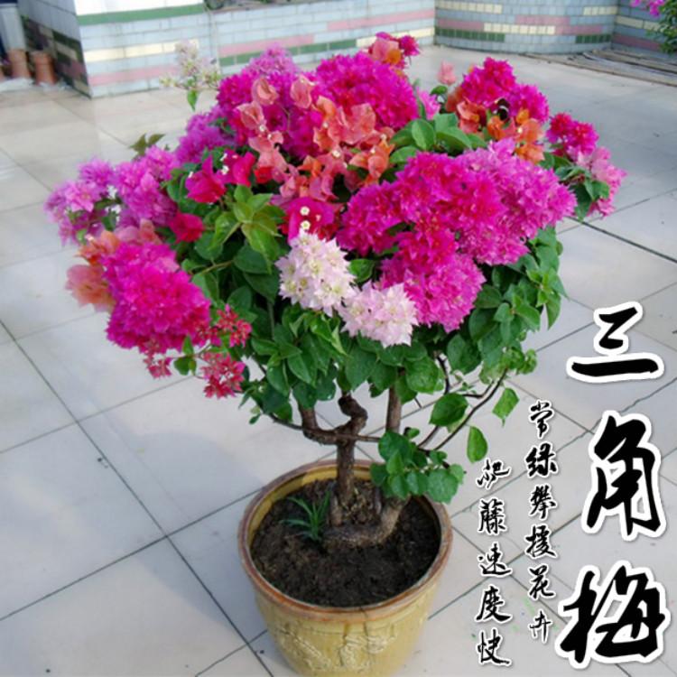 三角梅花苗盆栽重瓣三角梅树苗三叶梅盆景爬藤植物四季开花卉绿植