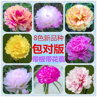 混色花卉重瓣太阳花宿根多年生带根花苗松叶牡丹四季开花绿植易活