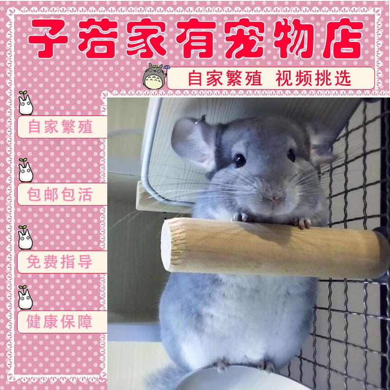龙猫宠物活物活体幼崽幼体银斑标灰公母小型小宠便宜自家繁殖纯种图片