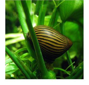 淡水螺苹果螺观赏螺活体蜗牛宠物螺除藻螺鱼缸清洁工具螺繁殖包邮