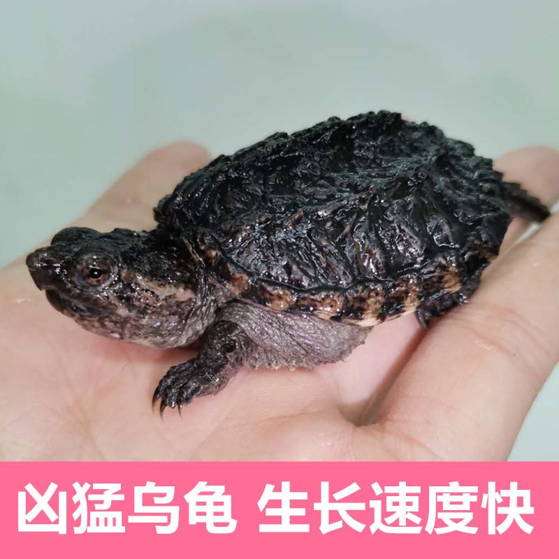 佛罗里达北美小鳄龟苗便宜活物大乌龟宠物食用鳄鱼龟幼苗活
