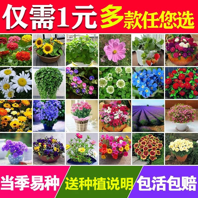 含羞草薄荷康乃馨向日葵花卉种子室内阳台绿植物盆栽四季播种易活