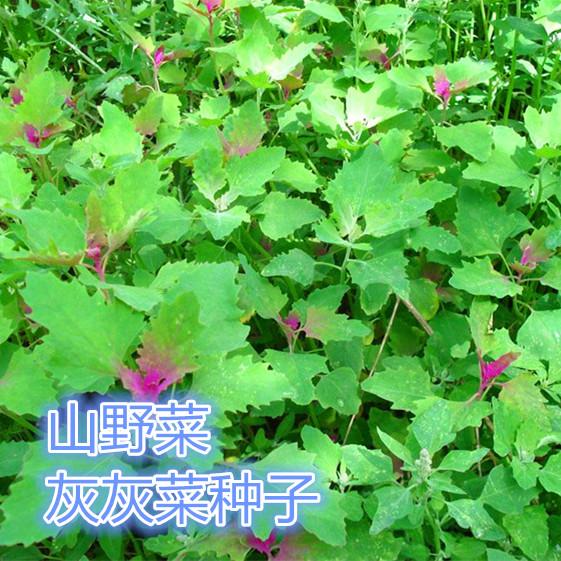 灰菜种子山野菜灰灰菜籽家庭盆栽地栽四季易活特种蔬菜灰灰菜种子