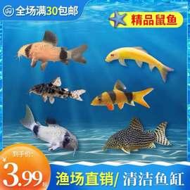 清道夫活体热带工具鱼除藻清洁鱼底栖白鼠鱼小型垃圾鱼观赏鱼包邮图片
