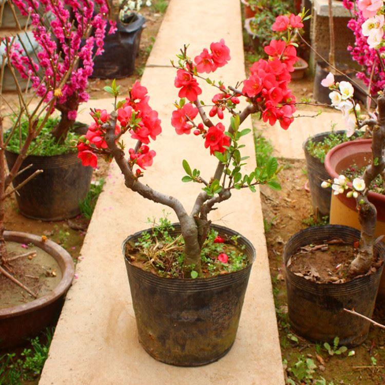 ベコニアの秋海棠盆栽家庭庭園に花卉観葉植物を植える