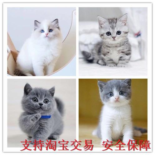 藍貓幼貓純種活體 英國短毛貓美國短毛貓 漸層藍白美短英短波斯貓