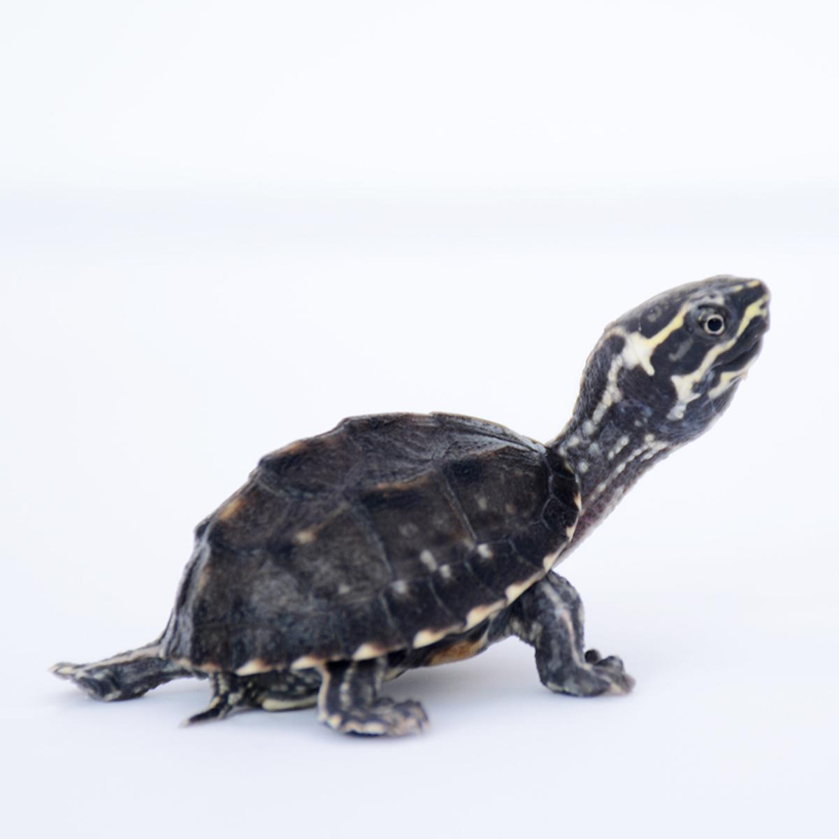苗乌龟宠物龟巨头虎纹挑头苗麝香龟(用1元券)