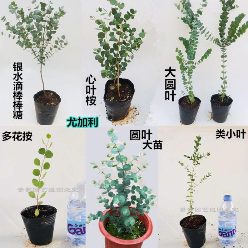 Heat resistant flower seedlings Landscaping leaves round green plants eucalyptus seedlings potted seedlings round leaves evergreen garden family