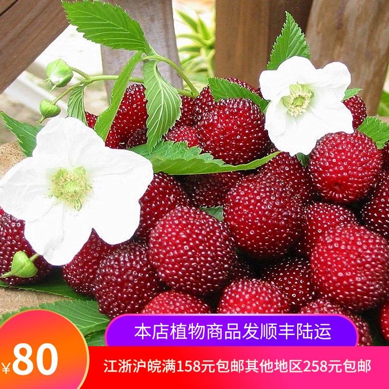 ラズベリーベリー先生の家庭用露台庭園耐寒、耐熱、多年生鉢植えの果物苗