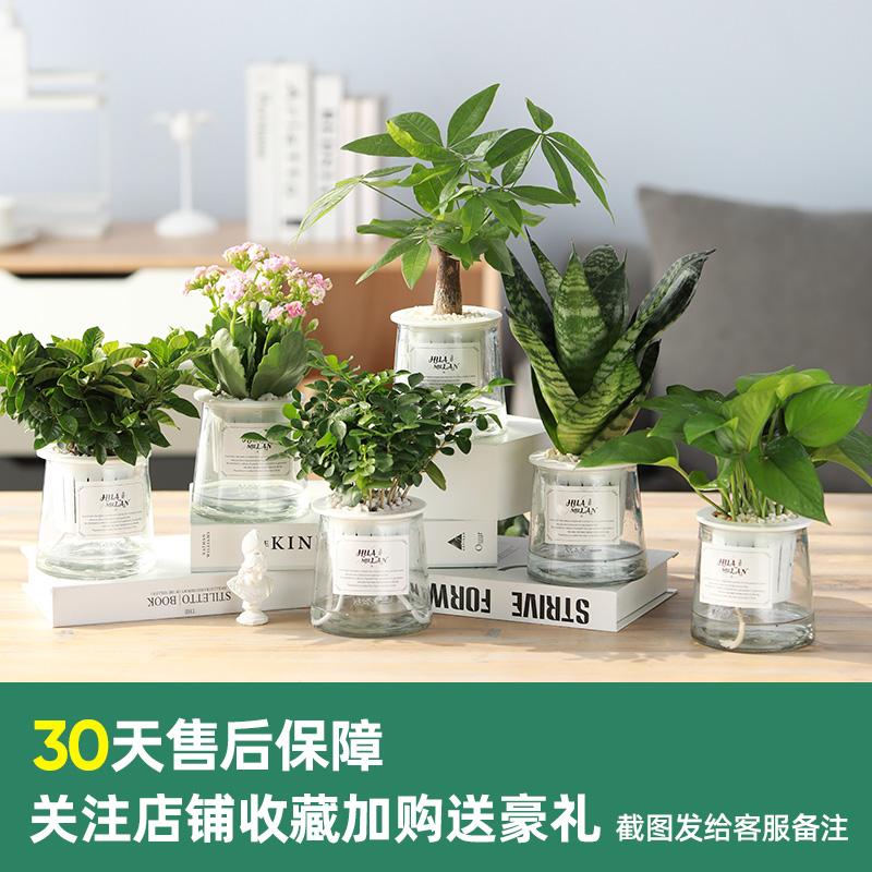 发财树办公室内好养绿植桌面小盆栽长寿花卉绿萝芦荟水培文竹植物
