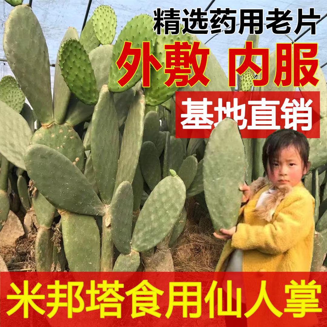 米邦塔可食用仙人掌盆栽植物无刺大型多肉室内嫁接美容药用外敷