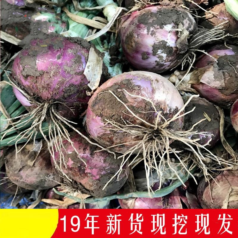 紫皮洋葱农家自种新鲜蔬菜19年现挖洋葱头圆葱头带箱10斤装
