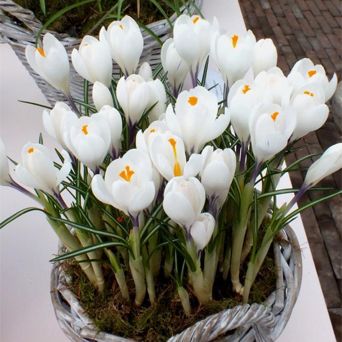Цветочные луковицы Артикул 591757298864