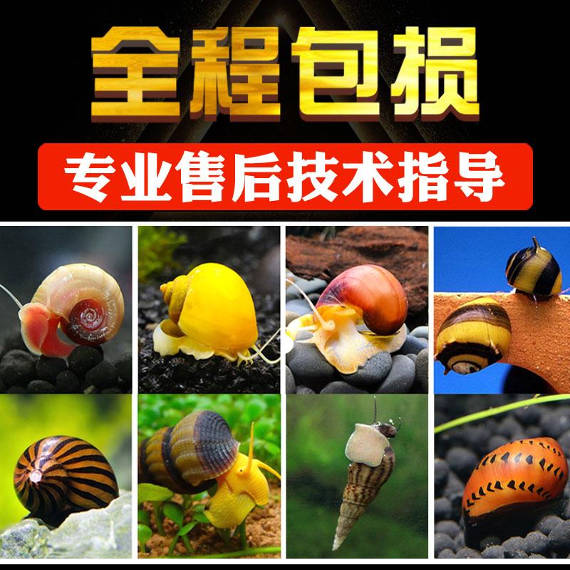 观赏螺淡水除藻螺工具苹果螺紫纹神秘斑马杀手宠物螺蜗牛活体套餐