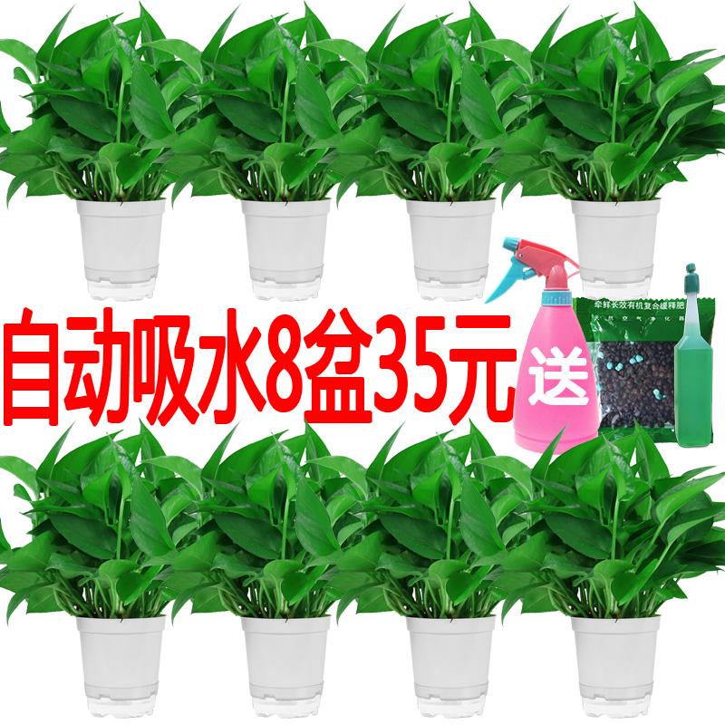 (用127元券)室内吸除甲醛净化空气水培植物绿萝