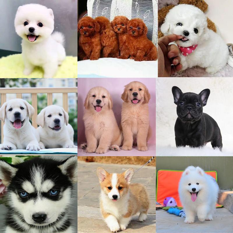 纯种博美犬泰迪俊介金毛哈士奇萨摩耶法国斗牛犬活体幼犬宠物狗狗