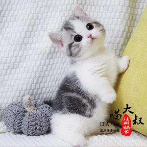 英短美短猫咪活物活物短毛猫矮脚小奶猫宠物猫幼崽猫咪银点金渐层