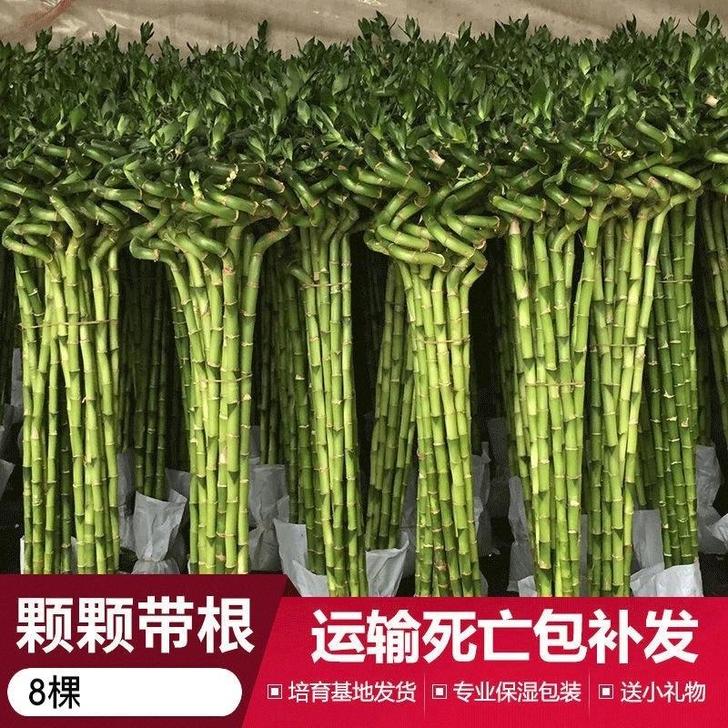 转运竹富贵竹盆景水培水养土栽植物花卉室内绿植客厅小盆栽竹子,可领取1元天猫优惠券