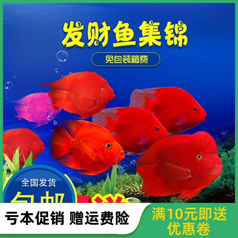 热带观赏血鹦鹉鱼发财鱼活体中大小型鱼苗淡水元宝金刚红财神金鱼