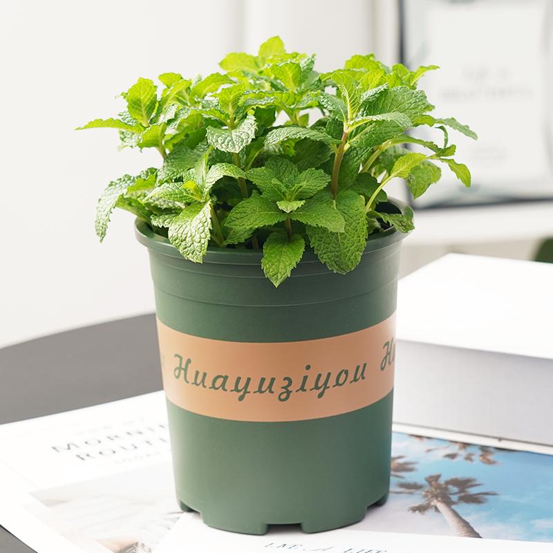 食用盆栽可食用留兰香新鲜驱蚊草