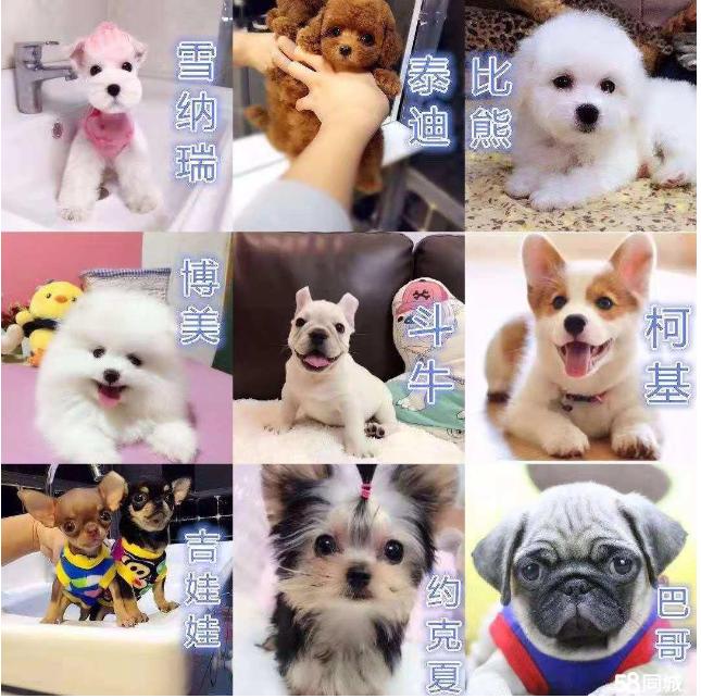 纯种柴犬博美拉布拉多约克夏雪纳瑞柯基法斗吉娃娃幼犬活体宠物狗图片