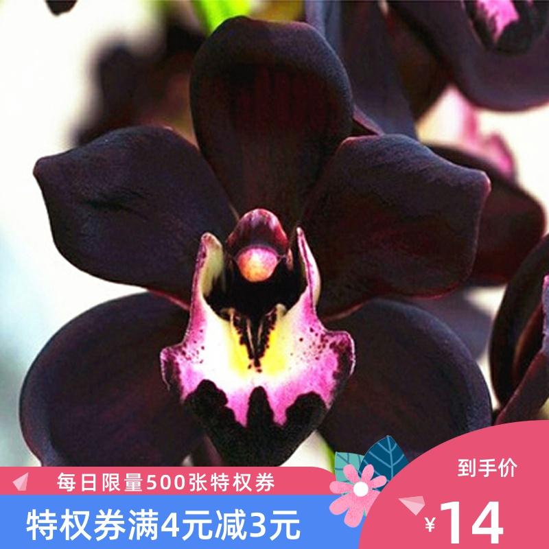 浓香紫月荷名贵四季兰草花卉盆栽绿植物建兰花苗不带花苞非矮种