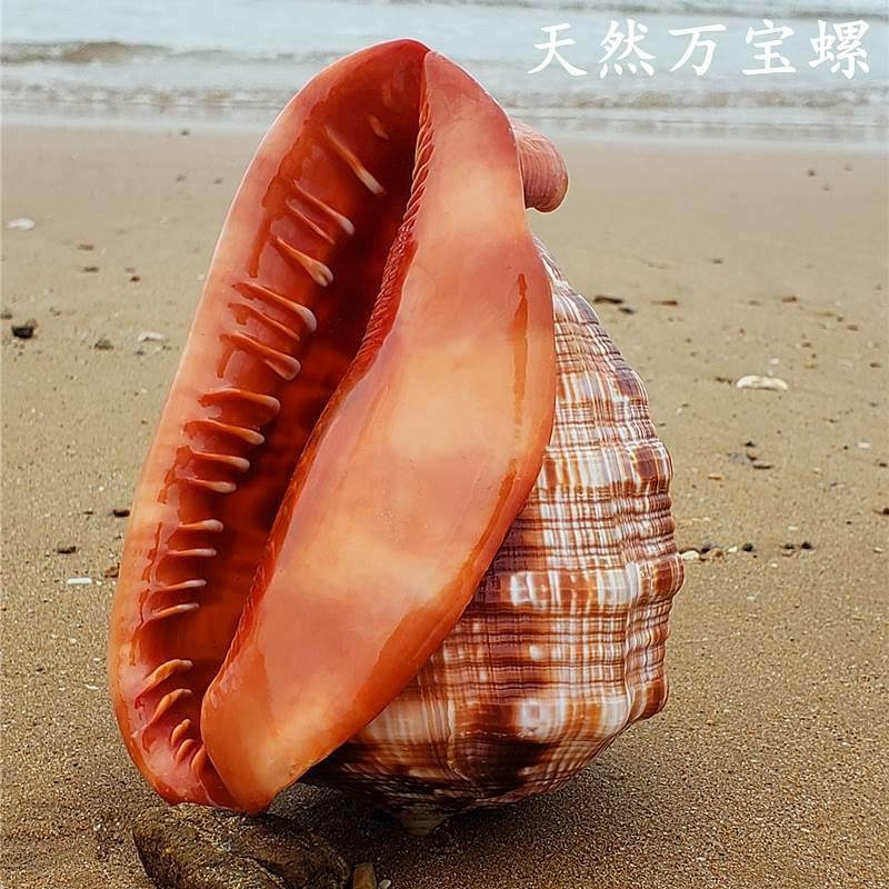 天然超大万宝螺法螺大海螺世界四大名螺家居创意礼品鱼缸造景珊瑚 Изображение 1