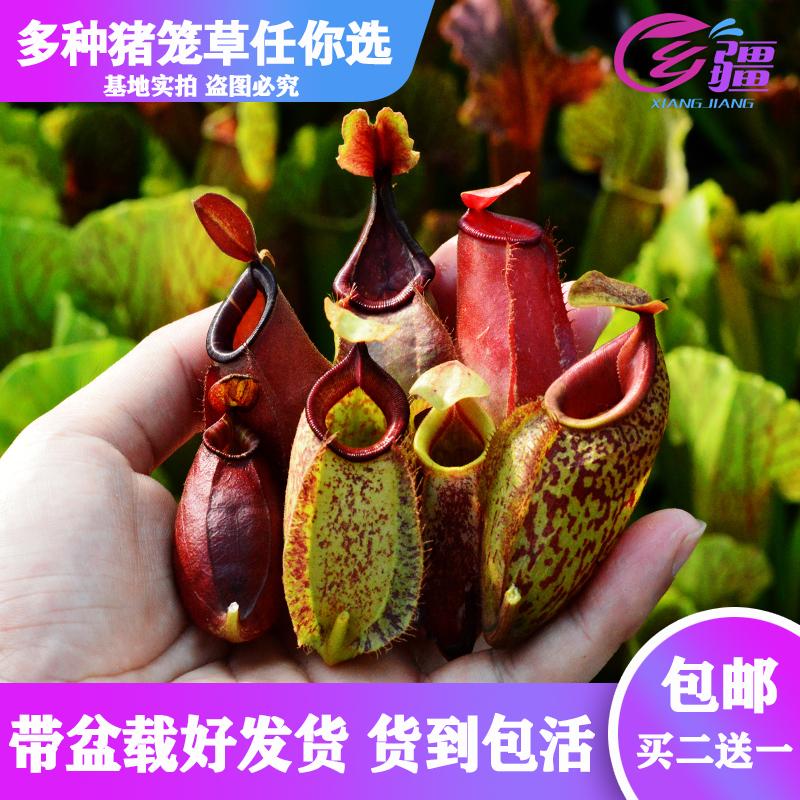 基地直销【多种猪笼草】食虫植物捕蝇草驱蚊草多肉趣味绿植盆栽