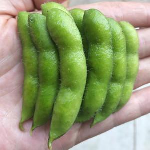 四川新鲜毛豆农家自种新鲜蔬菜