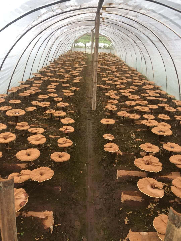 Новый Чистые товары на северо-востоке черный Longjiang Pure Broken Ganoderma Lucidum Spore Powder 250г бесплатная доставка по китаю верность