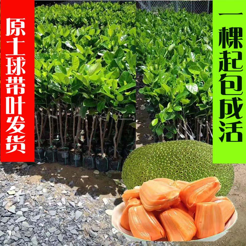 菠萝蜜树苗 嫁接木菠萝南方种新品种水果树苗榴莲蜜苗四季结果图片