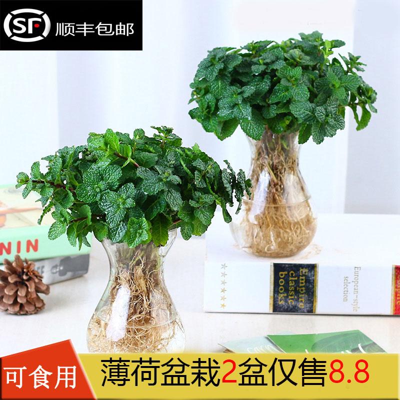薄荷盆栽可食用新鲜薄荷苗驱蚊草