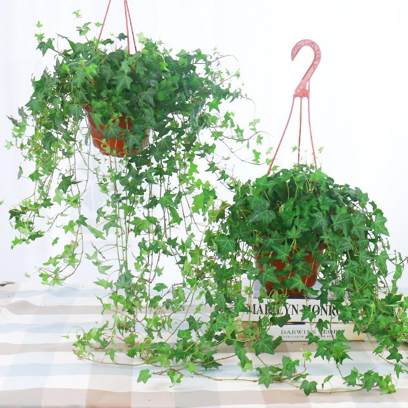 常春藤盆栽植物室内垂吊吸甲醛防辐射净化空气四季常青藤蔓绿植
