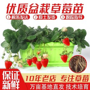 苗子超甜牛奶秧苗带果草莓苗红颜盆栽花籽各种奶油带土阳台花卉