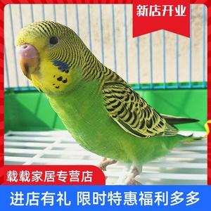 虎皮鹦鹉活鸟手养说话鸟手玩观赏宠物鸟幼鸟雏鸟可下蛋繁殖娇凤