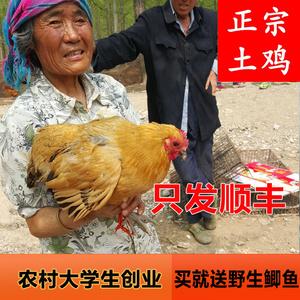 3年正宗蘇北土雞 農村散養老母雞農家月子雞草雞走地雞烏雞皖南活