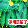 水果黄瓜种籽是高档品牌吗