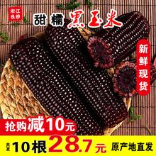 新鲜黑糯玉米10支2200g非转基因紫黏棒子现摘即食真空东北甜苞米