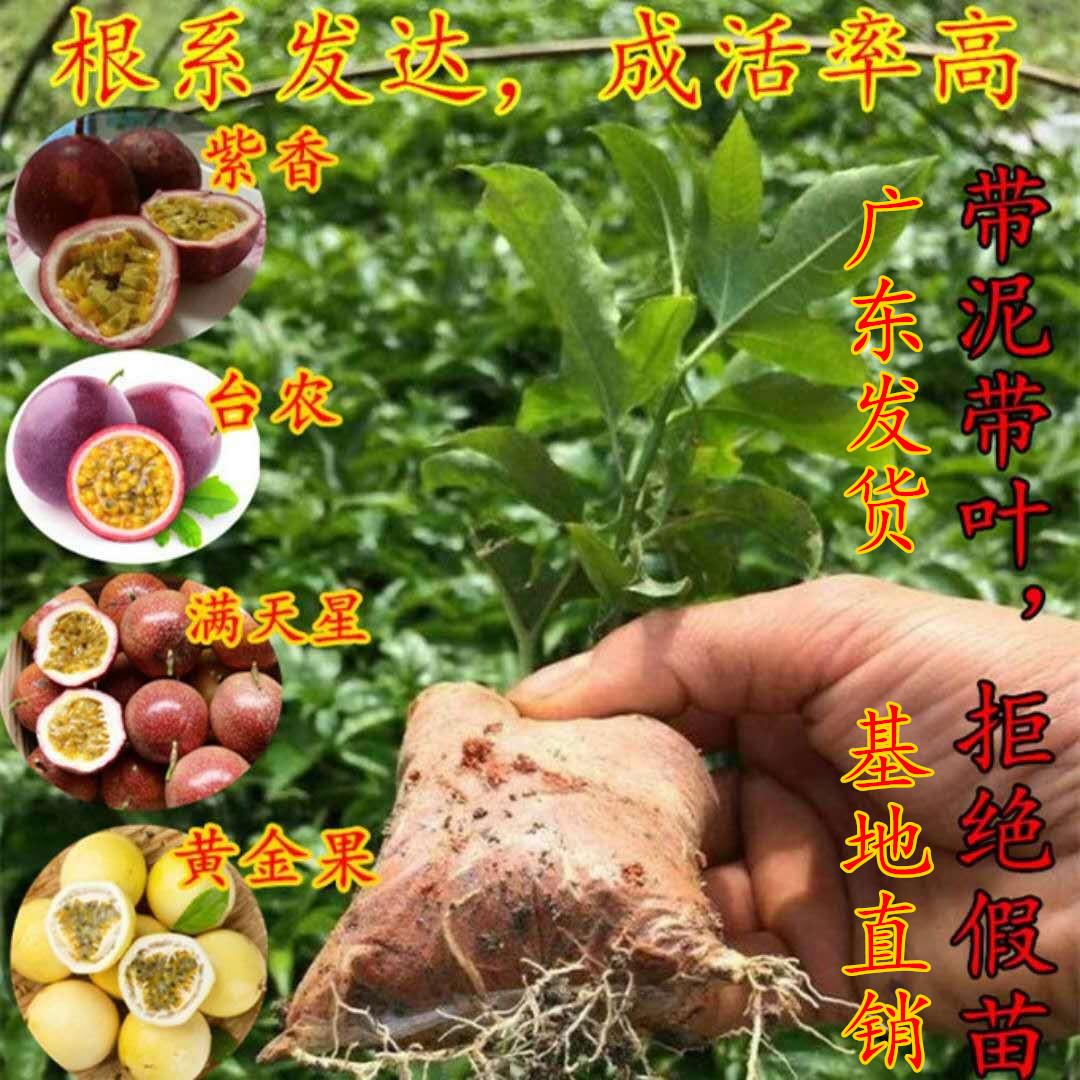 百香果苗果树苗紫香一号西番莲黄金果满天星果苗四季可种盆栽果苗