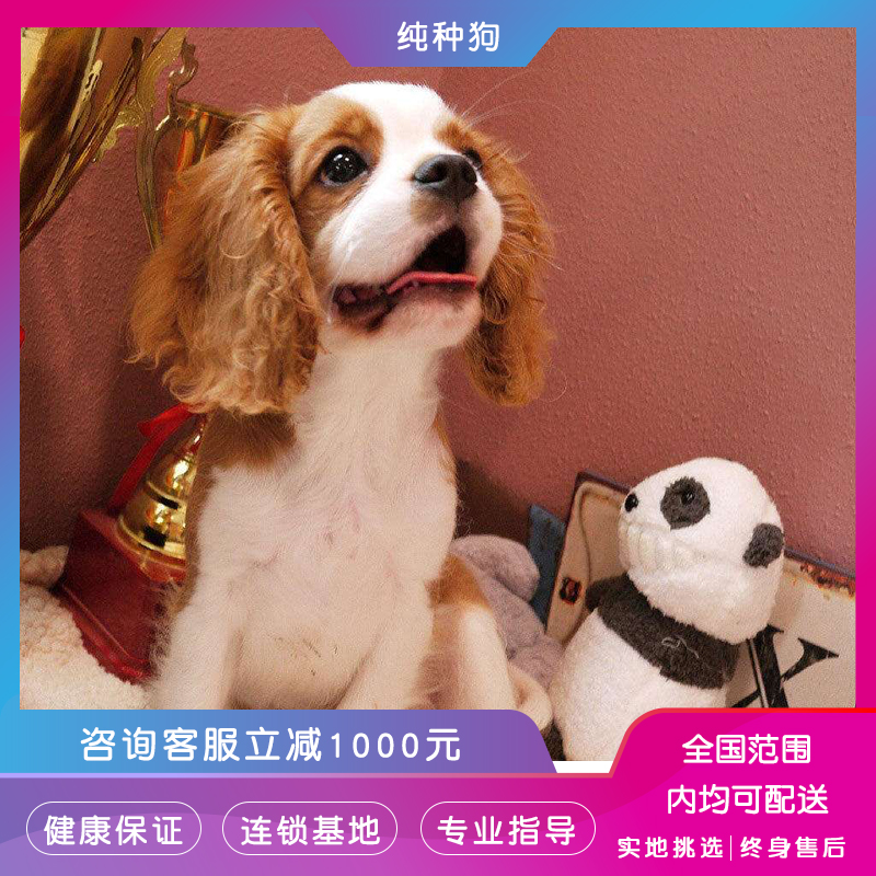 King Charles Beagle live pet dog big ears long hair noble dog Knight King Charles Beagle
