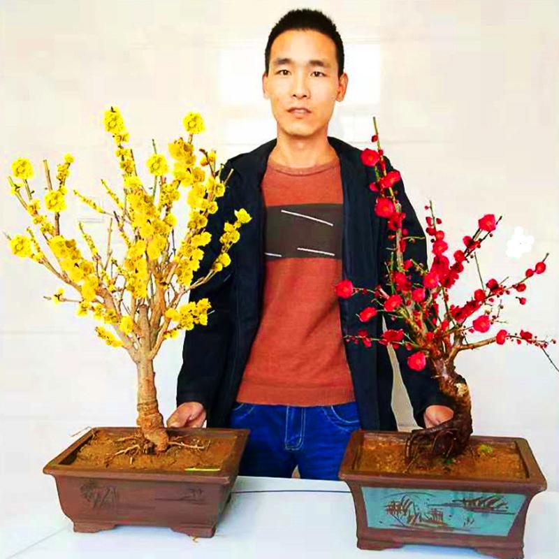 梅花盆景老桩红梅盆栽腊梅花树苗客厅阳台带花苞浓香型耐寒花卉
